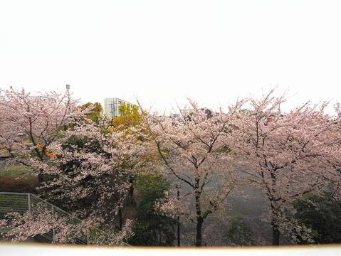 桜の季節にはベランダから花見ができます。